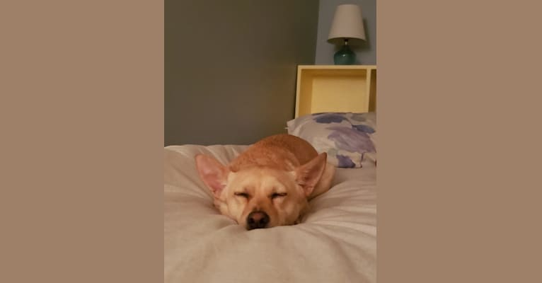 Photo of Paco, a Chihuahua, Rat Terrier, Pomeranian, and Mixed mix in Massachusetts, USA