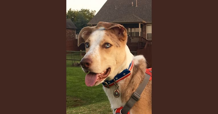 Photo of Captain America, a Rat Terrier, Border Collie, American Pit Bull Terrier, Labrador Retriever, and Mixed mix in Tulsa, Oklahoma, USA