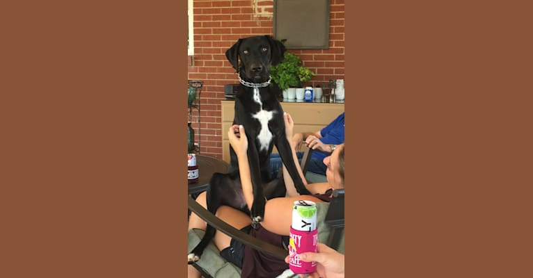 Photo of Kane, a German Shorthaired Pointer, Labrador Retriever, American Pit Bull Terrier, and Pointer mix in Tennessee, USA