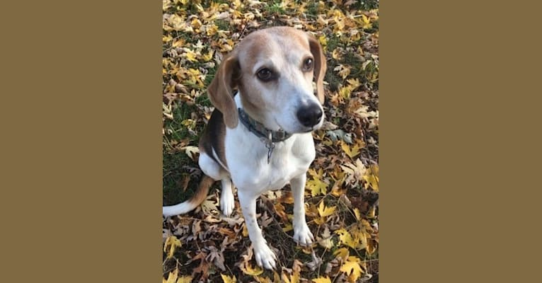 Photo of Nellie Noodle, an American Foxhound  in West Virginia, USA