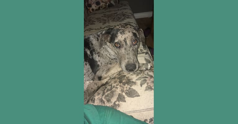 Photo of Storm, a Catahoula Leopard Dog  in OR, USA