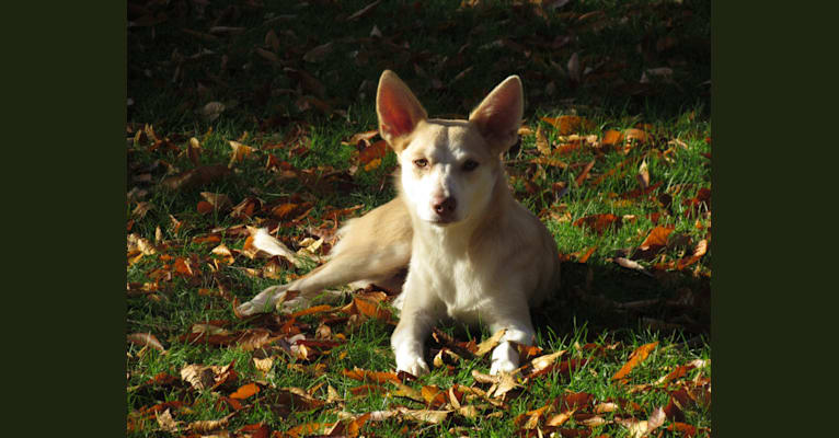 Photo of Cadie, an Australian Shepherd, Chow Chow, and Mixed mix in New Jersey, USA