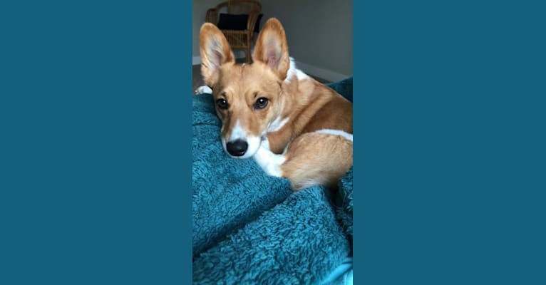 Photo of Boots, an Australian Cattle Dog and Pembroke Welsh Corgi mix in West Des Moines, Iowa, USA