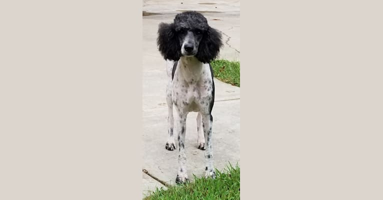 Photo of Chyna, a Poodle (Standard)