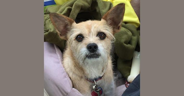 Photo of Penny, a Chihuahua, Pomeranian, Shih Tzu, and Chow Chow mix