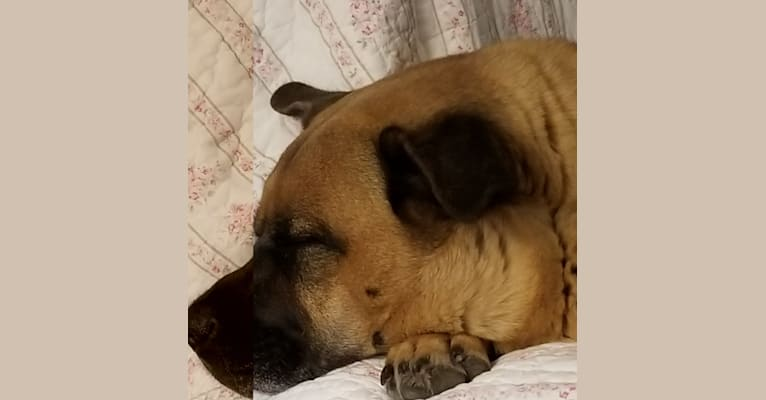 Photo of Cooper, a Chow Chow, American Pit Bull Terrier, Akita, and Mixed mix in Ferris, Texas, USA