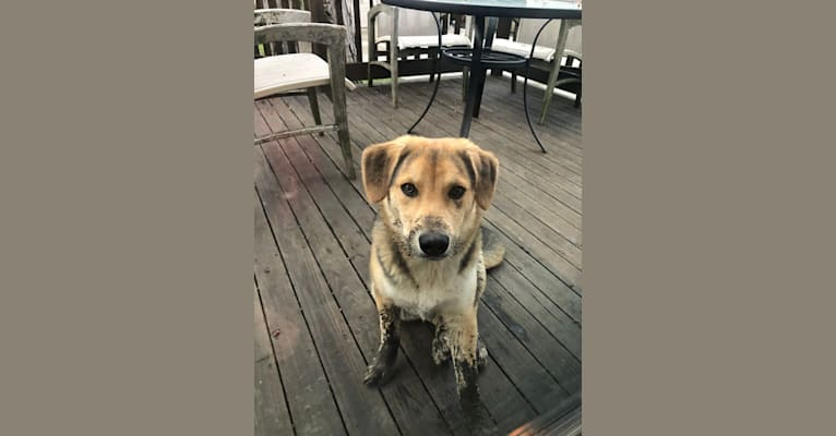 Photo of Franklin, a Border Collie and Australian Cattle Dog mix in McClure, PA, USA