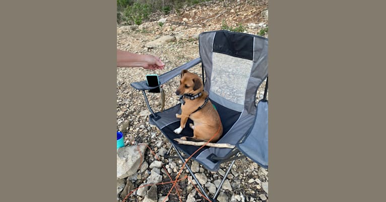 Photo of Bowie, a Chihuahua, Beagle, Rat Terrier, Toy Fox Terrier, and Mixed mix in Sullivan, Missouri, USA