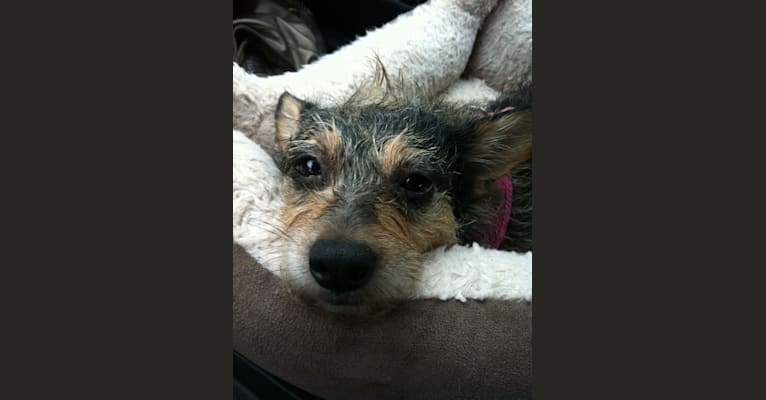 Photo of Piper, a Chihuahua and Poodle (Small) mix in Los Angeles, California, USA