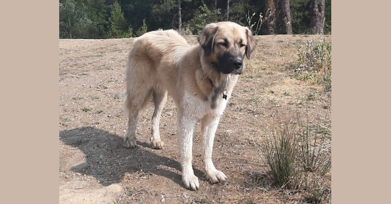 Photo of Duke, a Great Pyrenees and Anatolian Shepherd Dog mix in California, USA