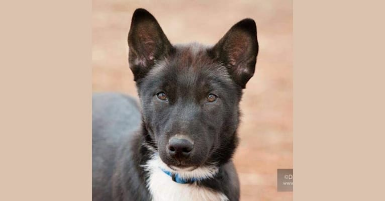 Photo of Clark, a Siberian Husky  in 1431 County Road A, Phelps, WI, USA