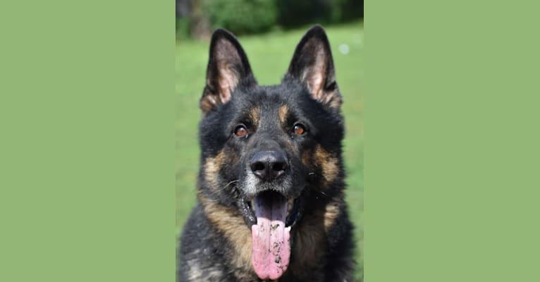 Photo of Hardy, a German Shepherd Dog