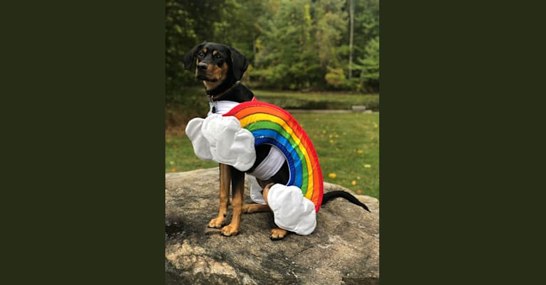 Photo of Trouper, a Doberman Pinscher, Treeing Walker Coonhound, Miniature/MAS-type Australian Shepherd, Boxer, Labrador Retriever, American Pit Bull Terrier, and Mixed mix in Tennessee, USA