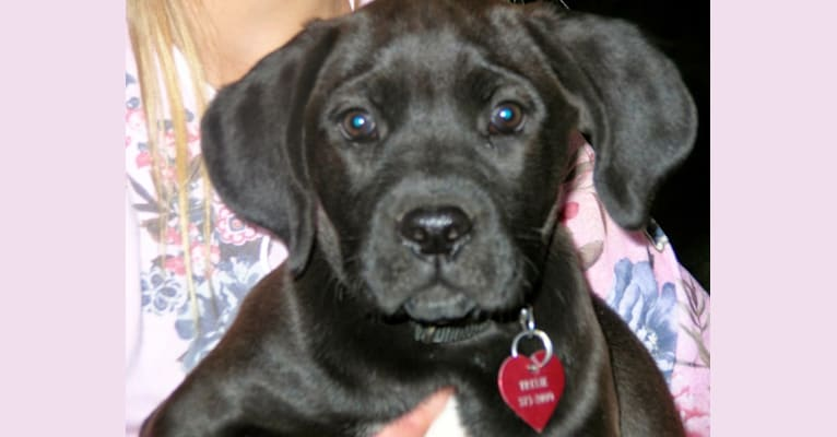 Photo of Trixie, a Boxer and Labrador Retriever mix
