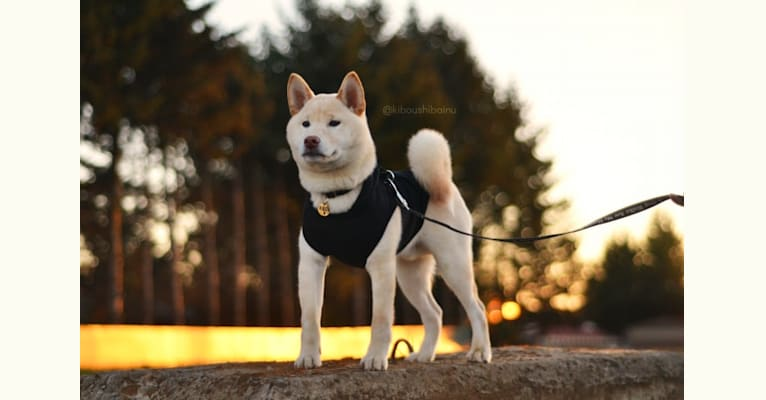 Photo of Piper's Creek Kibou, a Shiba Inu  in Federal Way, WA, USA