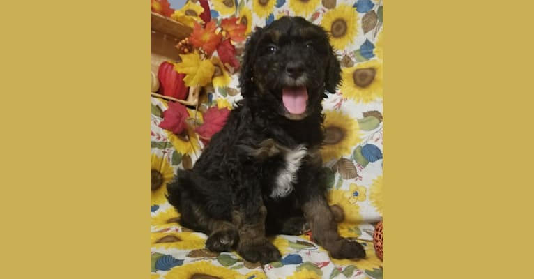 Photo of Athena, a Goldendoodle  in Jefferson City, MO, USA