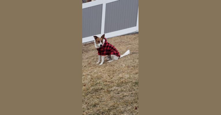 Photo of Loki, an Australian Shepherd, German Shepherd Dog, Australian Cattle Dog, and Labrador Retriever mix in Cedar Fort, Utah, USA