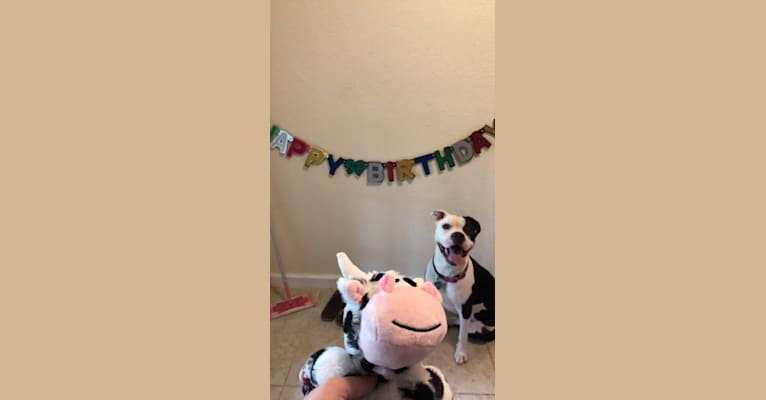 Photo of Roxy Cow, an American Staffordshire Terrier and American Pit Bull Terrier mix