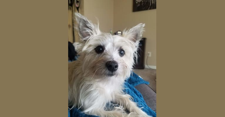 Photo of Willow, a Cairn Terrier and Maltese mix in Omaha, Nebraska, USA