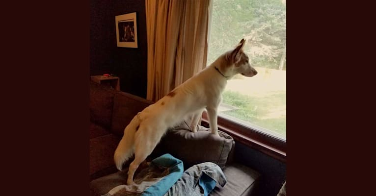 Photo of Gambit, a German Shepherd Dog, American Pit Bull Terrier, Collie, Chow Chow, American English Coonhound, and Mixed mix in Missouri, USA