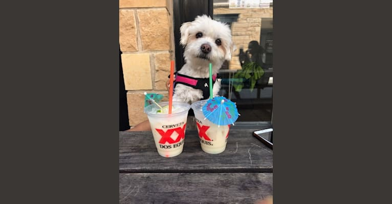 Photo of Summer, a Shih Tzu, Chihuahua, and Pekingese mix in Puerto Rico