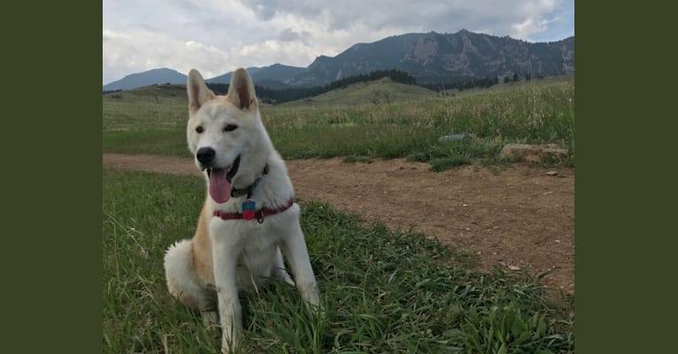 Photo of Rudy, an Akita, Alaskan Malamute, Siberian Husky, and Mixed mix in Lakewood, Colorado, USA