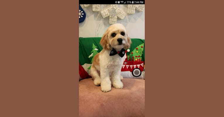 Photo of Chase, a Cockapoo  in Hughesville, MO, USA