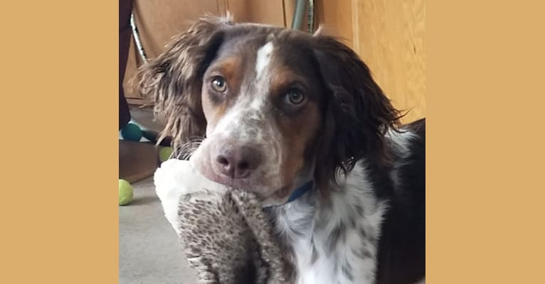 Photo of Jake, a Brittany and German Shorthaired Pointer mix