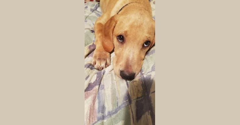 Photo of Chance, a Mountain Cur and Labrador Retriever mix in Gastonia, North Carolina, USA