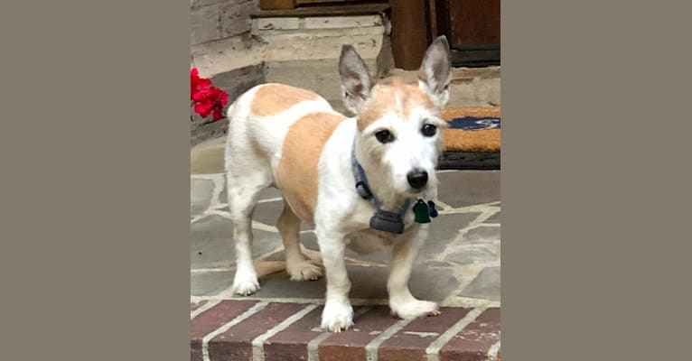 Photo of Abbey, a Russell-type Terrier mix in Paducah, Kentucky, USA