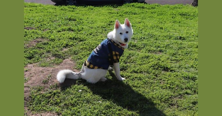 Photo of PepperNoodle, a Siberian Husky  in Moreno Valley, California, USA