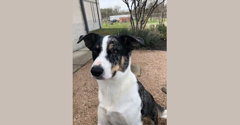Photo of Luther, a Border Collie, Catahoula Leopard Dog, Siberian Husky, Australian Cattle Dog, German Shepherd Dog, Labrador Retriever, and Mixed mix in Texas, USA
