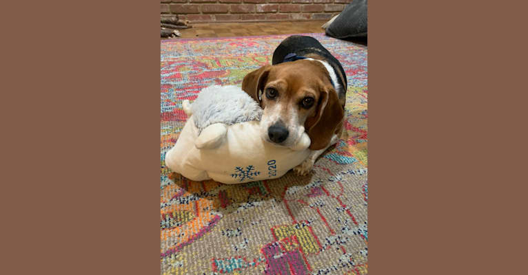 Photo of Holly, a Beagle  in Memphis, Tennessee, USA