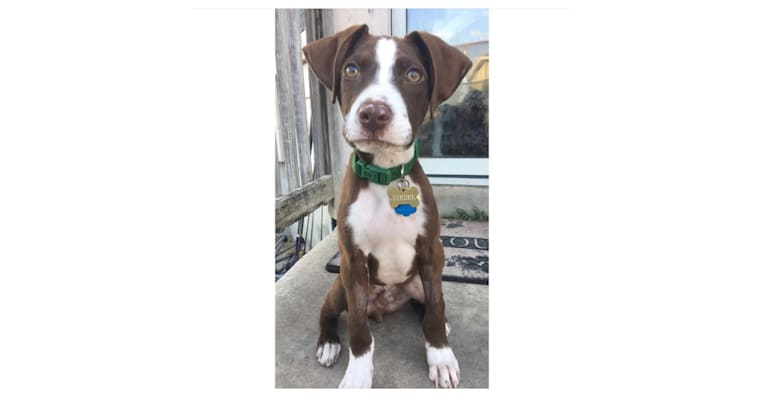 Photo of Diesel, an American Pit Bull Terrier, Poodle (Standard), Border Collie, and American Staffordshire Terrier mix in Cibolo, Texas, USA