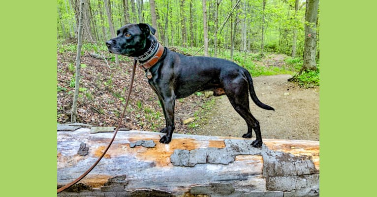 Photo of Cole, an American Pit Bull Terrier, Boxer, and German Shepherd Dog mix