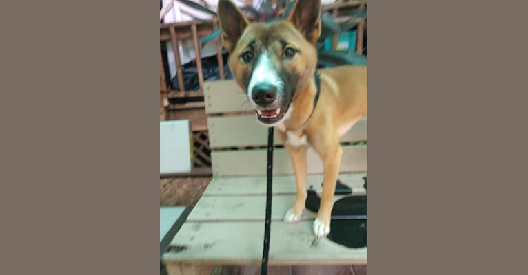 Photo of Titan, a New Guinea Singing Dog