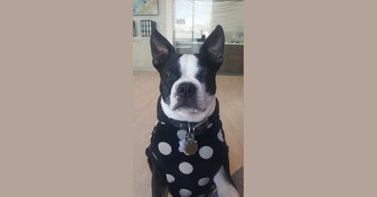 Photo of Bella, a Boston Terrier