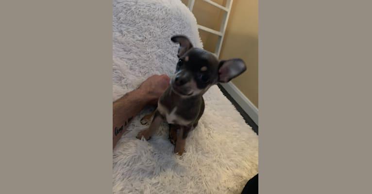 Photo of Chanel, a Chihuahua  in Αγγλία, Ηνωμένο Βασίλειο
