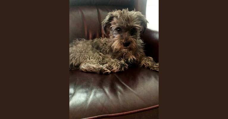 Photo of Malcolm Wiggles, a Shih Tzu, Poodle (Small), Miniature Schnauzer, and Lhasa Apso mix in Tigard, Oregon, USA
