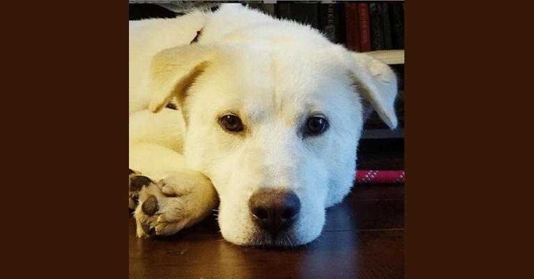 Photo of Sasha, a Japanese and Korean Village Dog and Golden Retriever mix in South Korea
