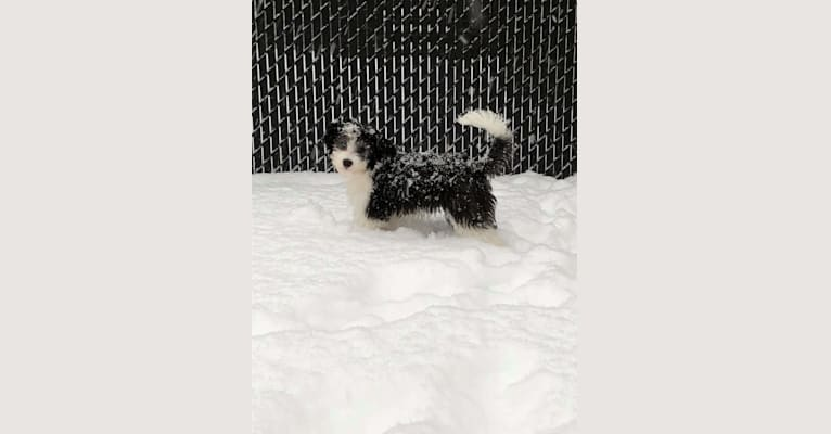 Photo of Prince, a Chinese Crested, Boston Terrier, Poodle (Small), and Papillon mix in Québec, QC, Canada