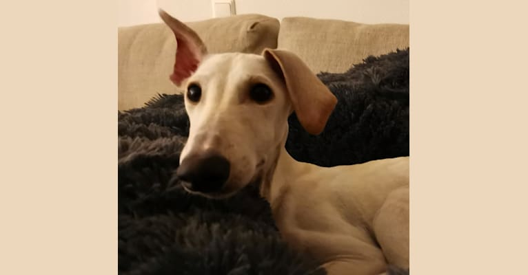 Photo of Nyx, a Saluki and Greyhound mix in Amsterdam, North Holland, Netherlands