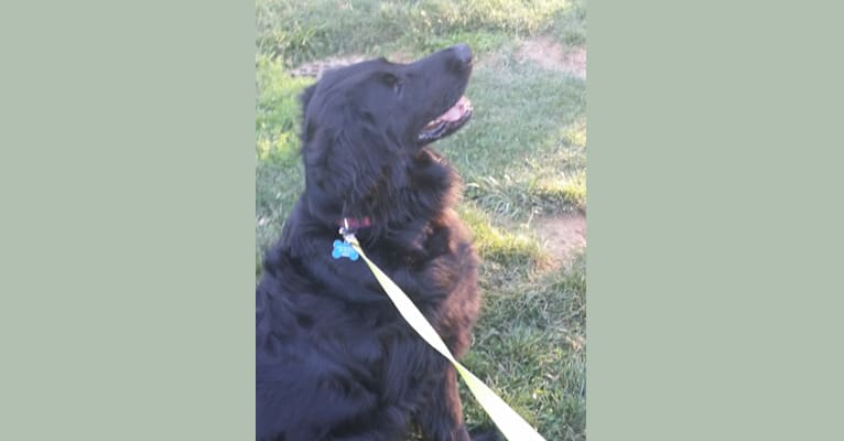 Photo of Lily, a Flat-Coated Retriever  in Stevensville, MI, USA