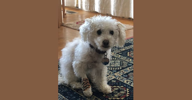 Photo of Lucy, a Poodle (Small), Chihuahua, American Eskimo Dog, and Mixed mix in El Cerrito, California, USA