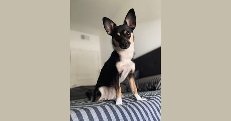 Photo of Petrie, a Chihuahua, Pomeranian, Poodle (Small), and Mixed mix in California, USA