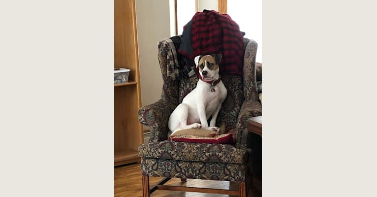 Photo of Gunnar, an American Bulldog and Staffordshire Terrier mix in Alsip, Illinois, USA