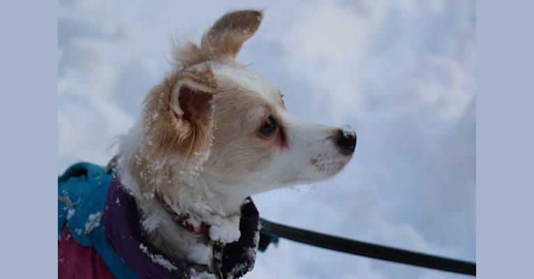 Photo of Lizzy (Eliza/Elizabeth), an Eastern European Village Dog and Pekingese mix in Romania