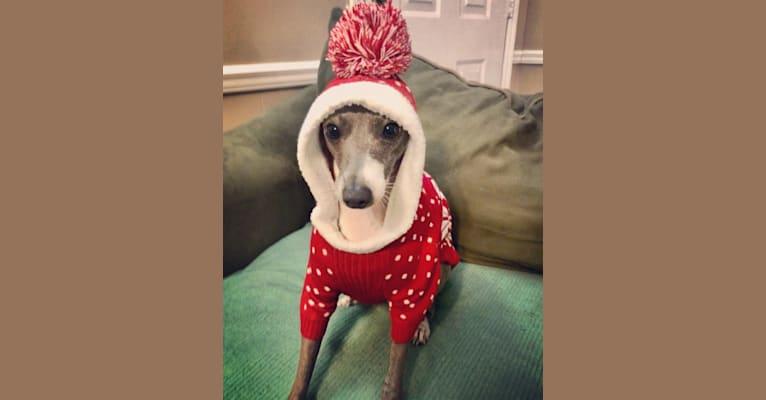 Photo of Stella, an Italian Greyhound  in Vienna, GA, USA