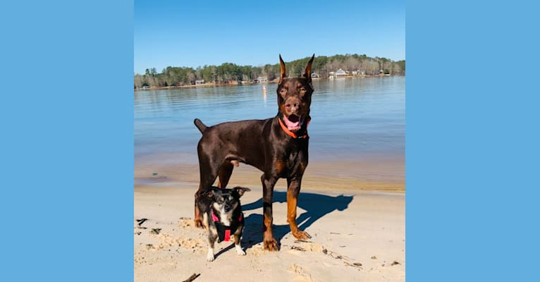 """Photo of Tanner's Forged in Fire """"Brixx"""", a Doberman Pinscher  in Louisiana, USA"""