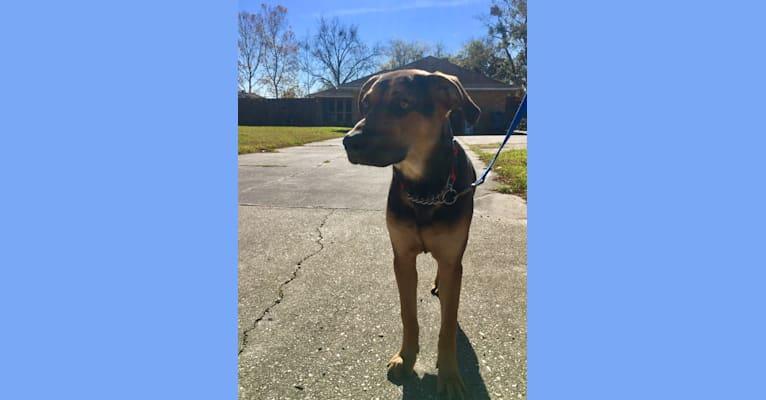 Photo of Jake Finn, a Catahoula Leopard Dog and German Shepherd Dog mix in Prairieville, Louisiana, USA